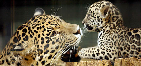 Mommy and baby jaguar